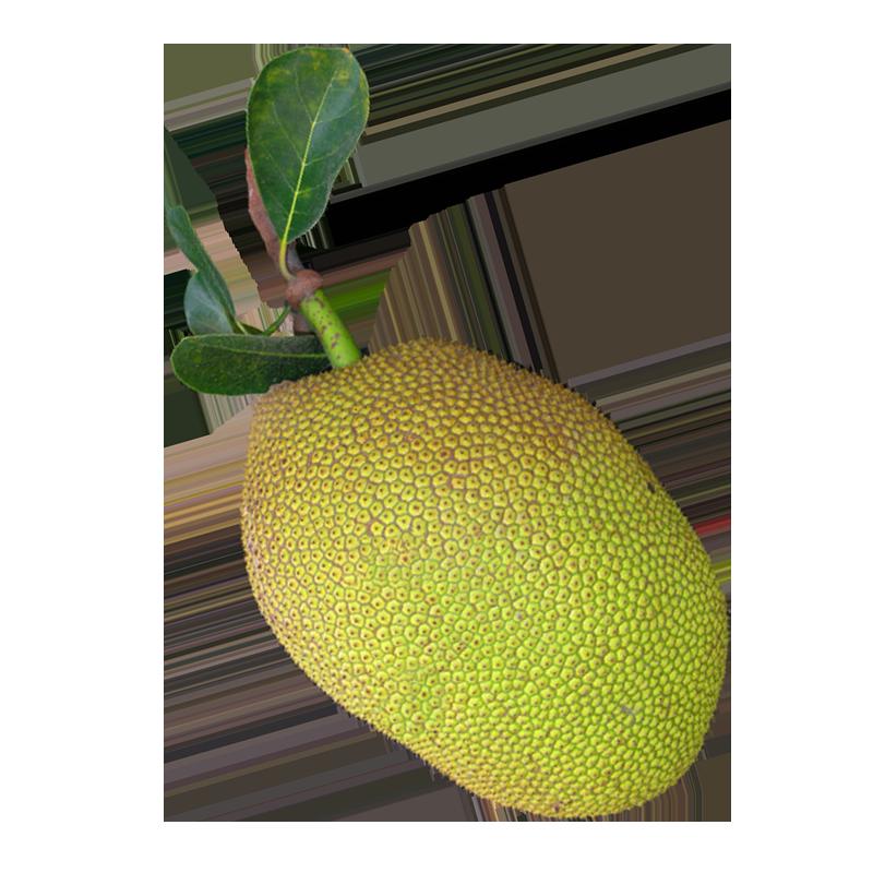 <b>Jackfruit</b>